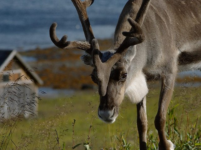 R Reindeer Real Rudolph and Prancer ta...